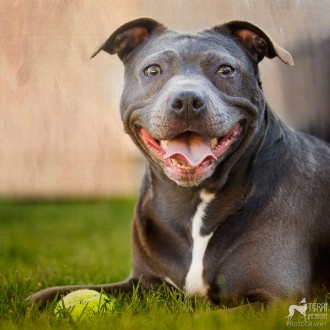 Blue pit bull mix smiling