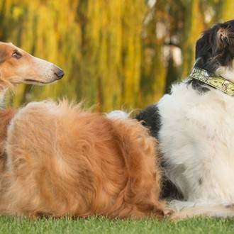 Two borzoi resting in the grass