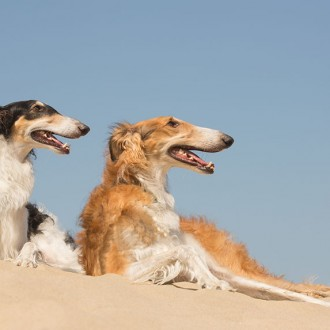 Borzoi at the top of a sand dune
