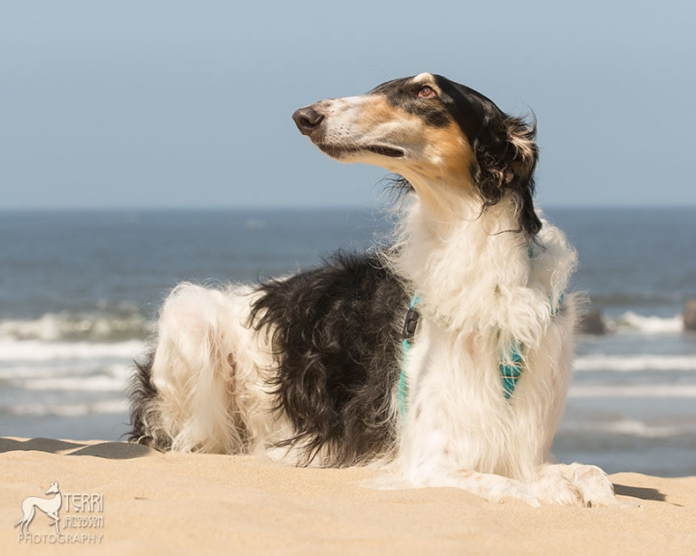 Borzoi laying in the sand