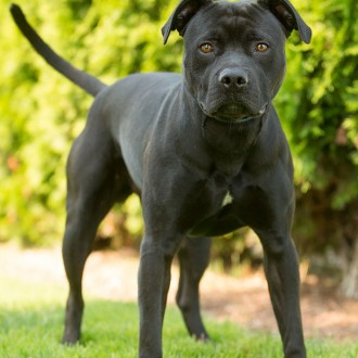 Black pit bull available for adoption