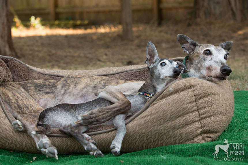 Italian greyhound and greyhound
