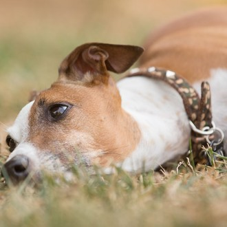 Italian greyhound laying in the grass