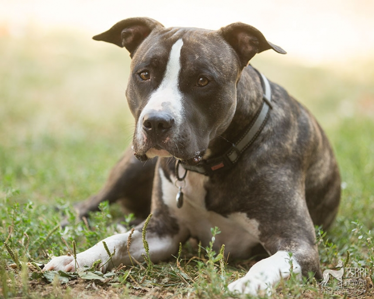 White and brindle pit bull