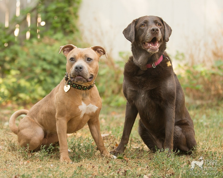 Staffordshire terrier and lab