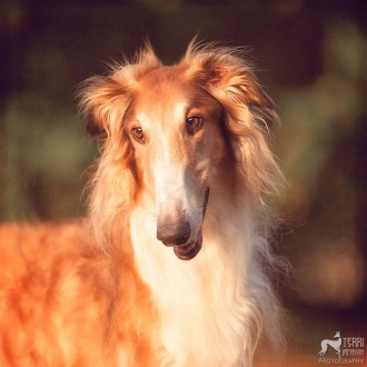 Red borzoi in sunlight
