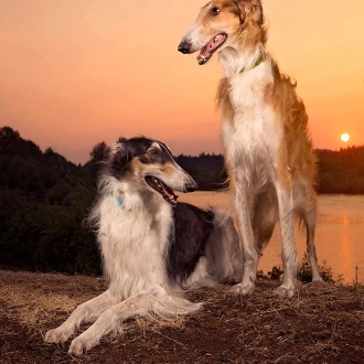 Two borzoi at sunset