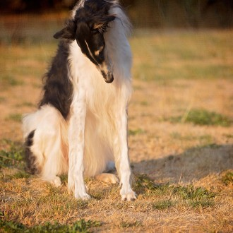 Borzoi bowing his head