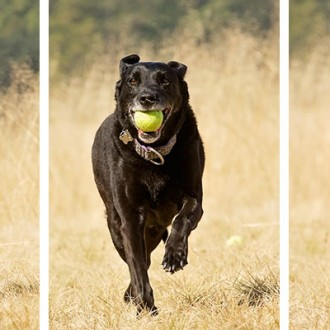 Black lab running with tennis ball
