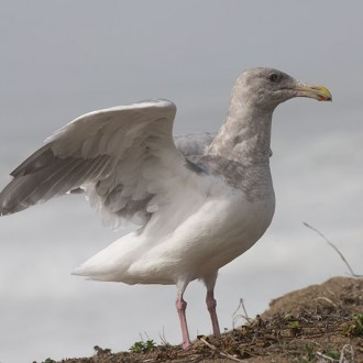 Seagull at the edge of a bluff