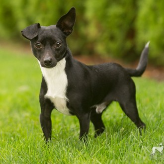 Black and white chihuahua mix