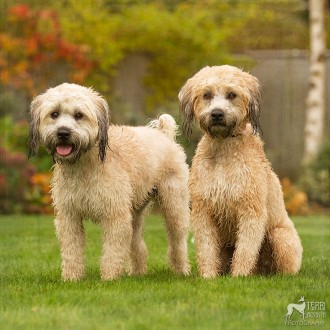 Soft-coated wheaten terriers