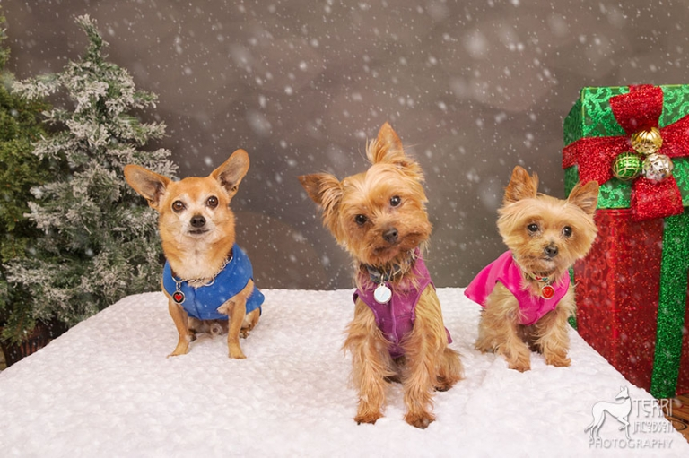 Two yorkies and a chihuahua