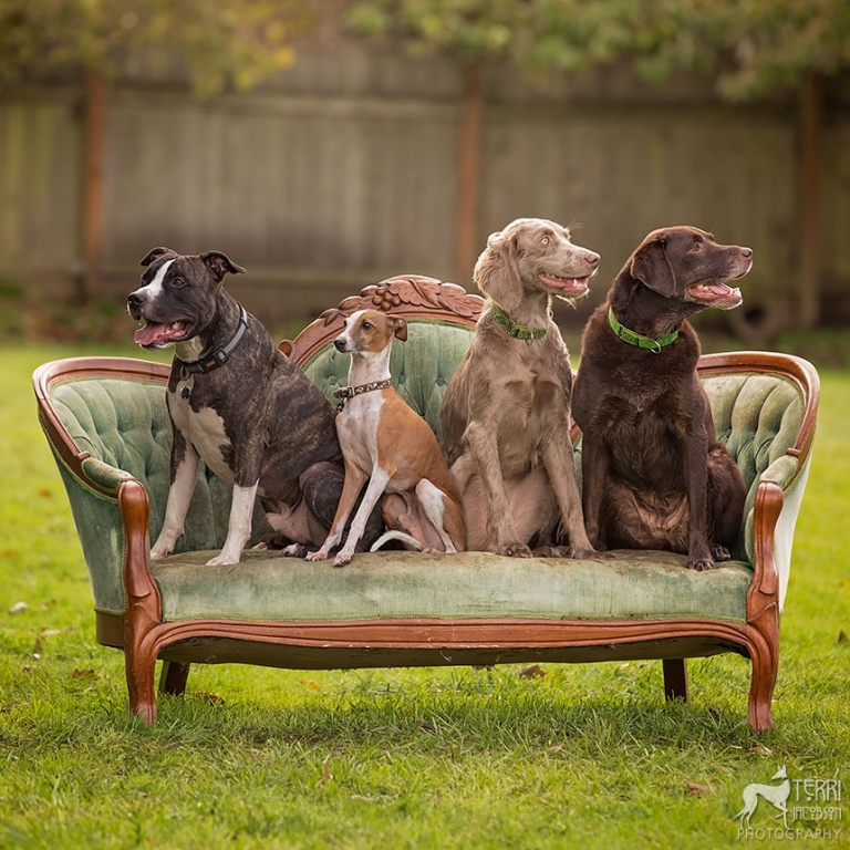 pit bull, Italian greyhound, long-haired weimaraner, chocolate lab