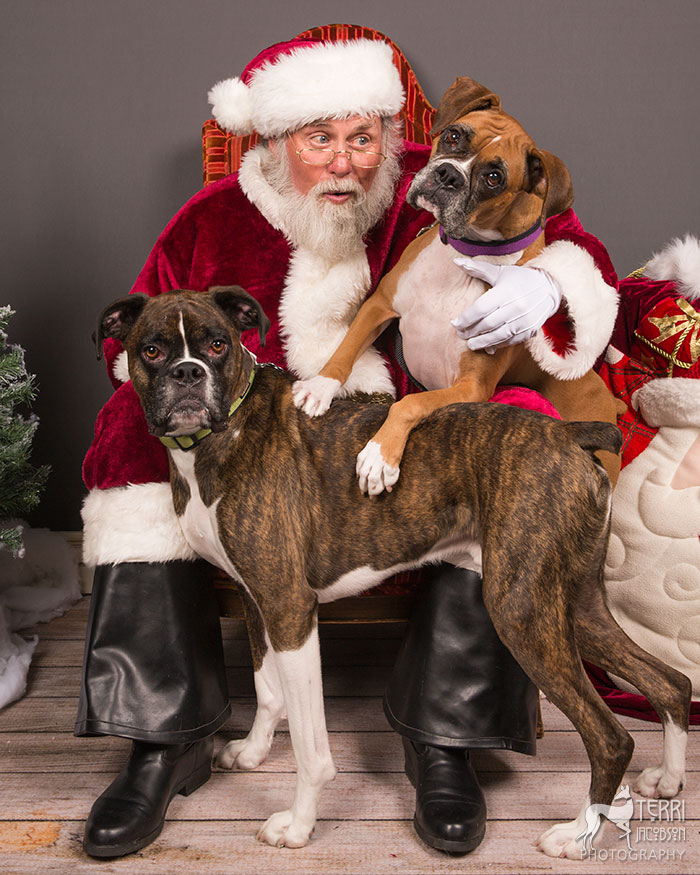 Two boxers with Santa Paws