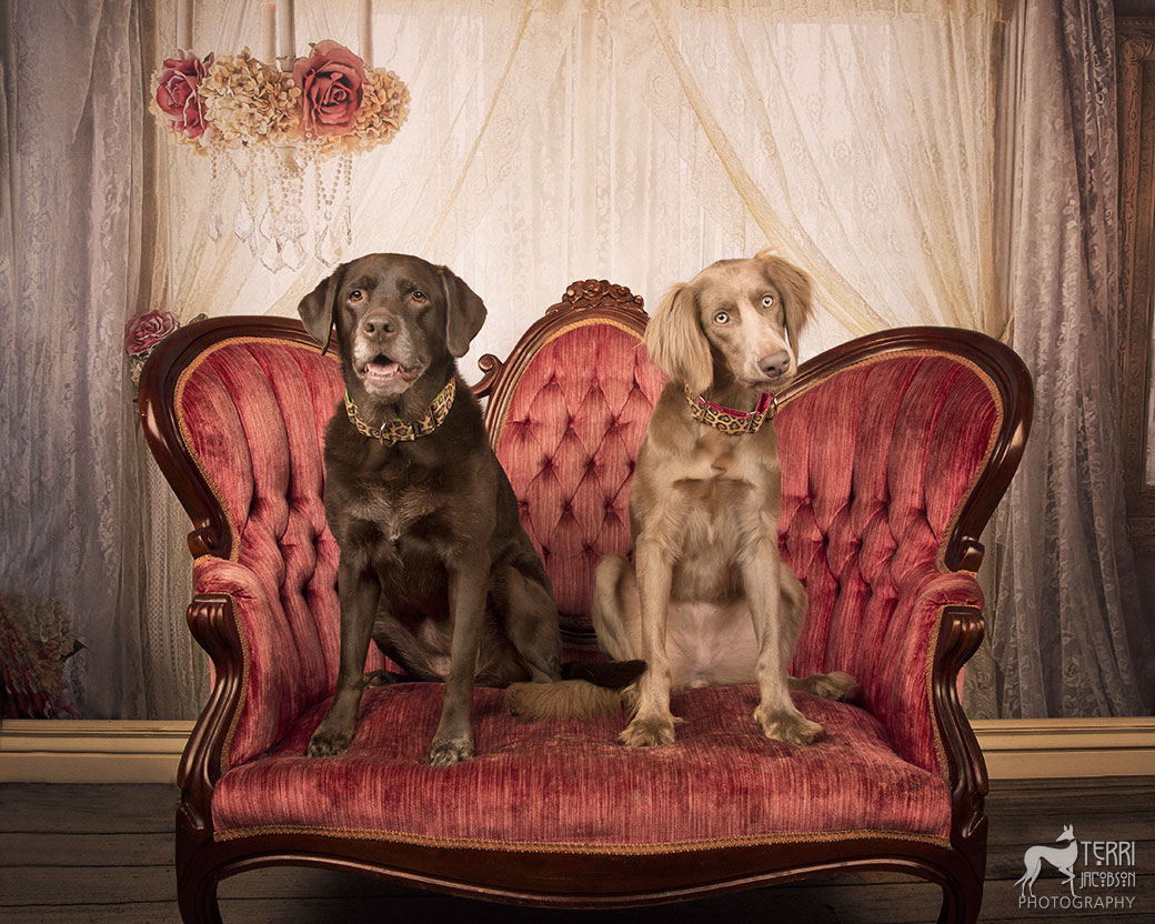 Chocolate lab and long-haired weimaraner