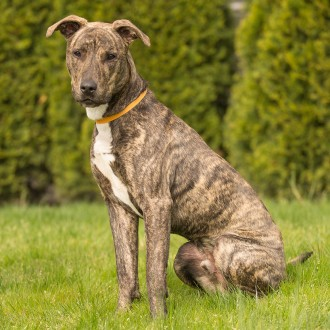 Brindle greyhound mix