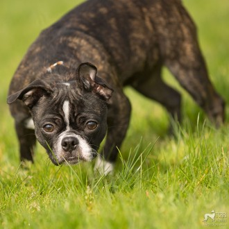 Boston terrier mix