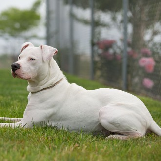 White American pit bull terrier mix