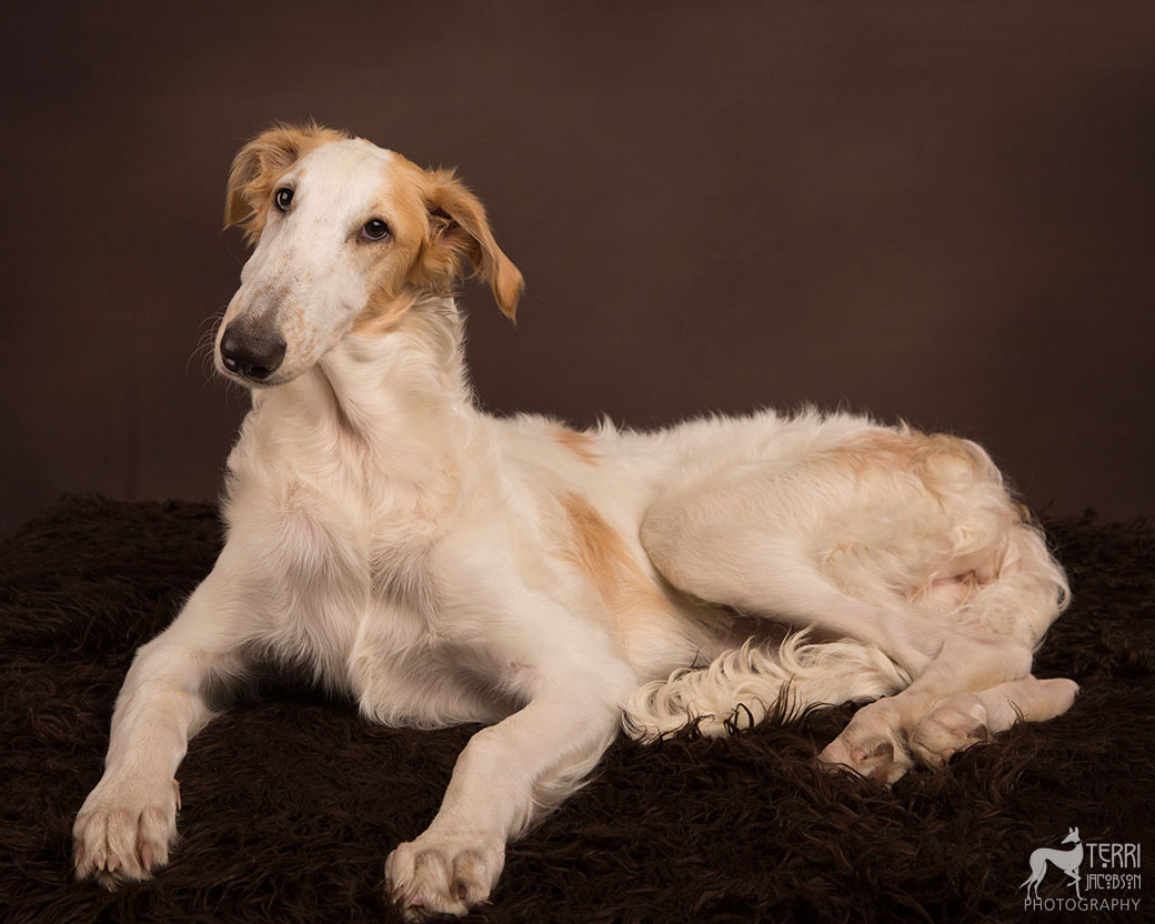 White and fawn borzoi puppy