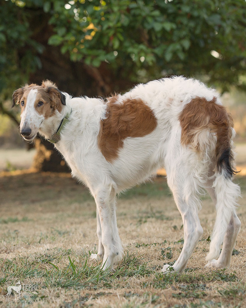 Red and white borzoi puppy