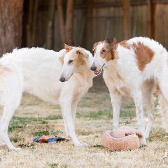 Two borzoi puppies
