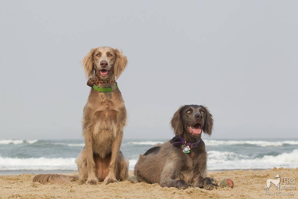 Blue and gray long-haired weimaraners