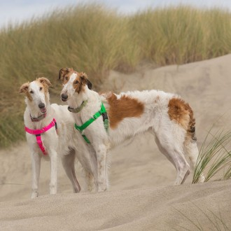 Borzoi puppies at the beach