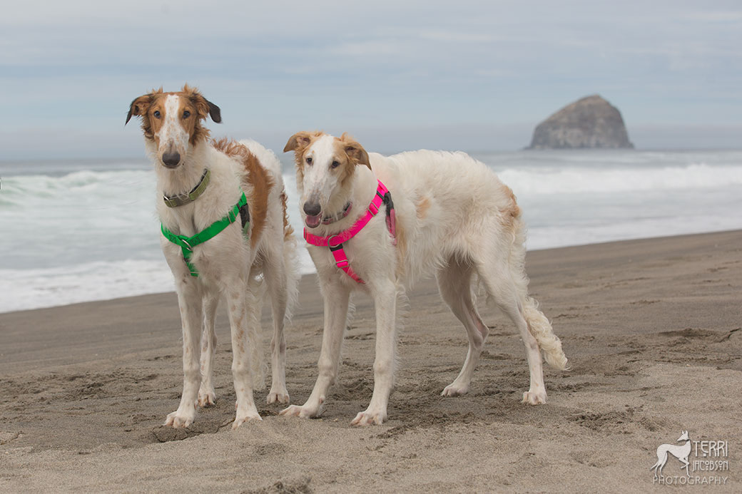 Two borzoi pups at the beach