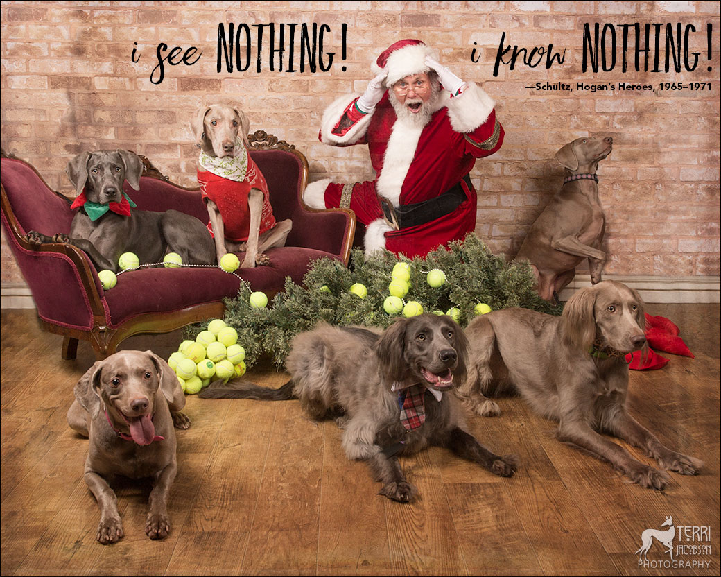 Weimaraners and Santa Paws