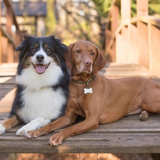 Australian shepherd and vizla