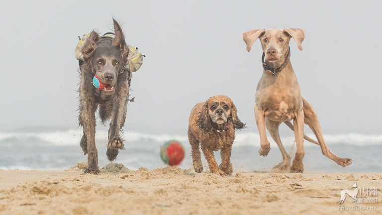 2 weimaraners and a cocker spaniel