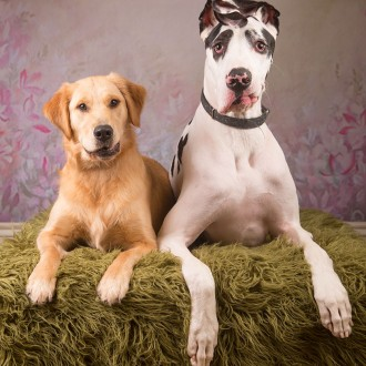 Golden and Great Dane