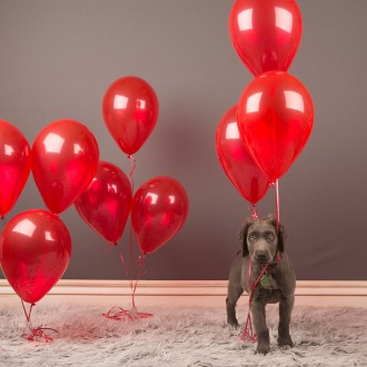 Long-haired weimaraner puppy with red balloons
