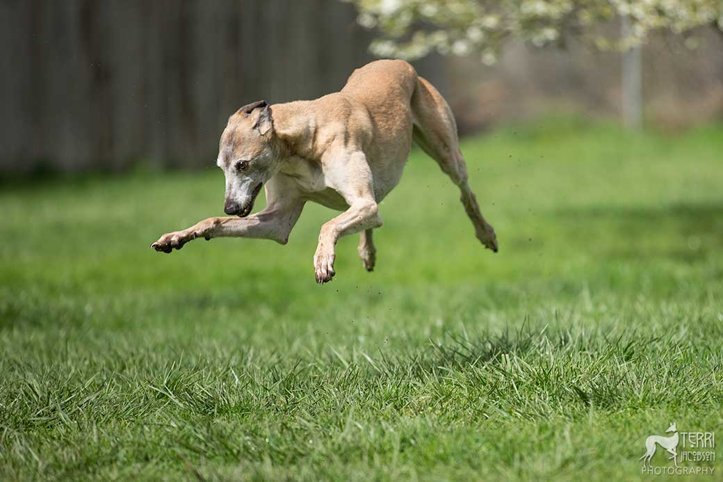 Greyhound suspended in the air