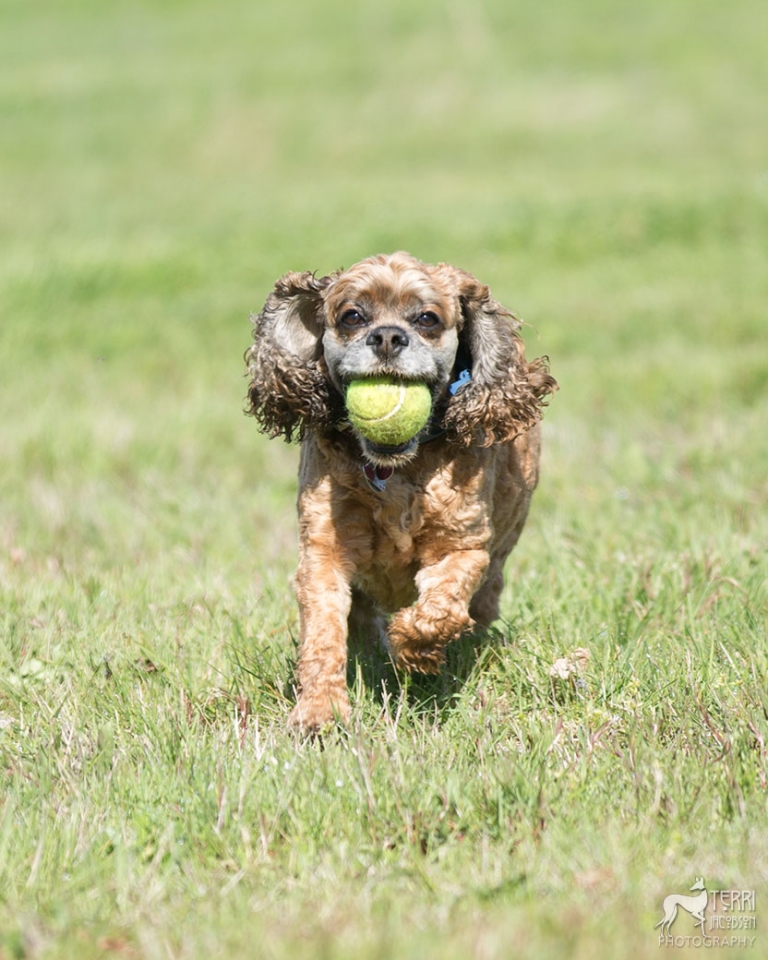 Cocker spaniel running