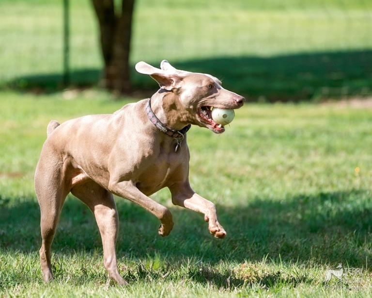 Gray ghost weimaraner running