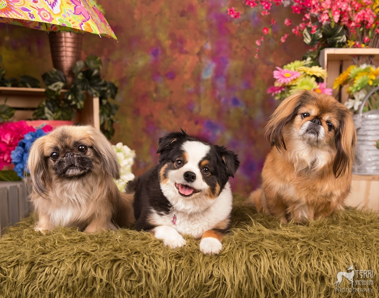 Two pekingese and aussie