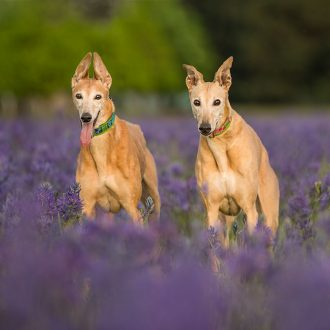 Two fawn greyhounds