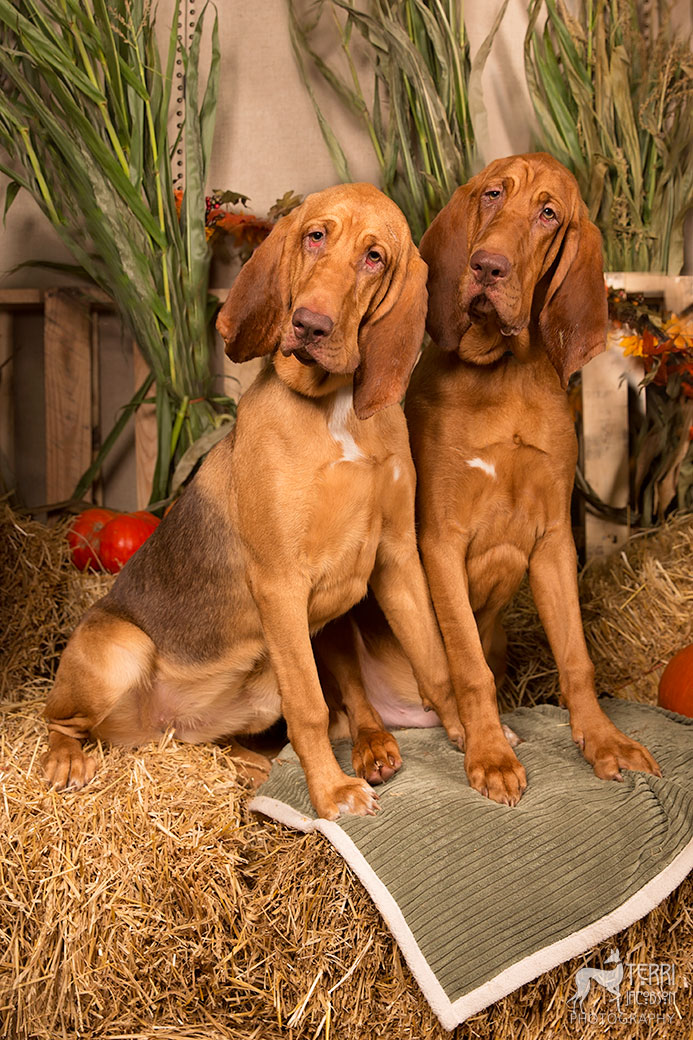 Two bloodhounds
