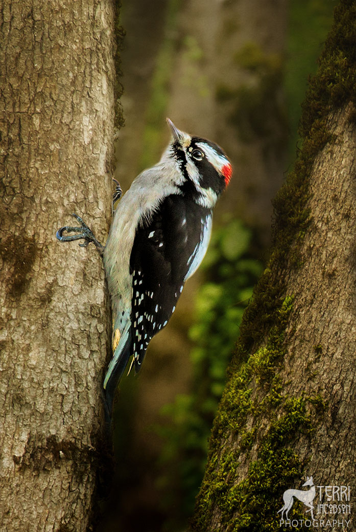 Portrait of a downy woodpecker