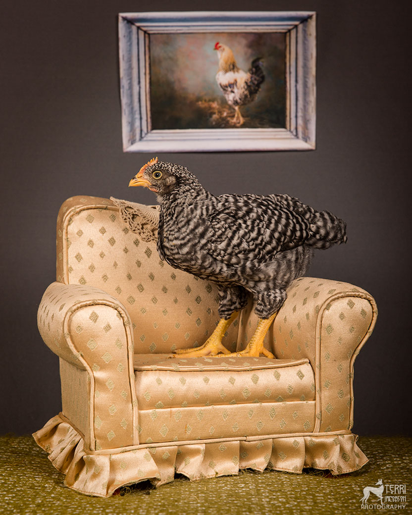 barred Plymouth Rock chick