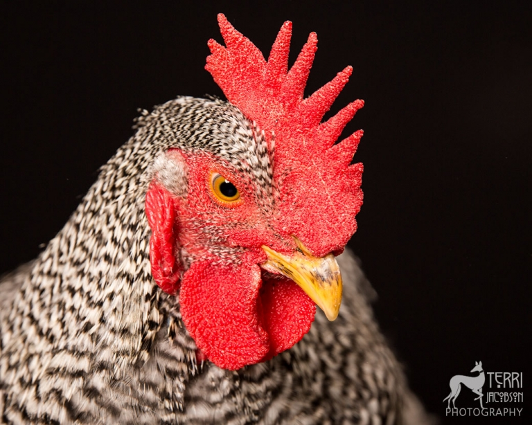 Plymouth Barred Rock Rooster
