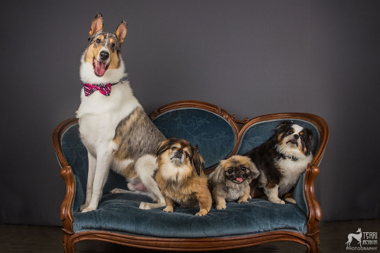 Four dogs sitting on an antique settee