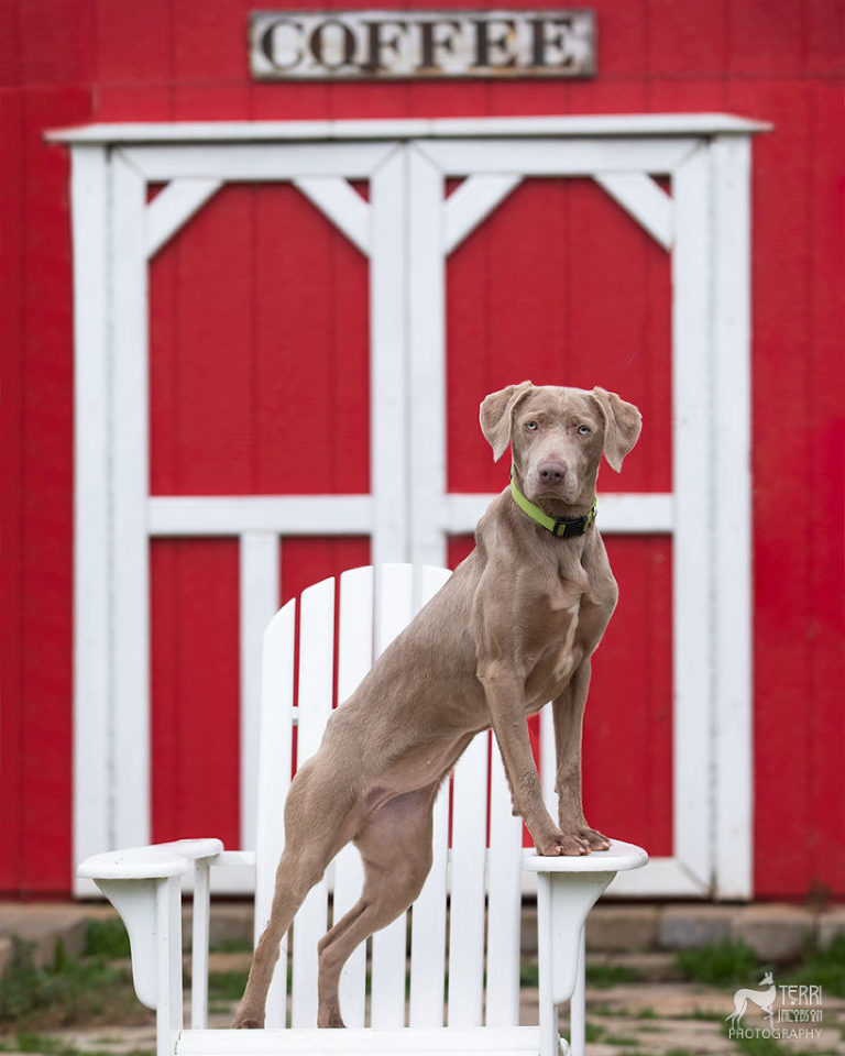 Portrait of a Weimaraner in front of a barn