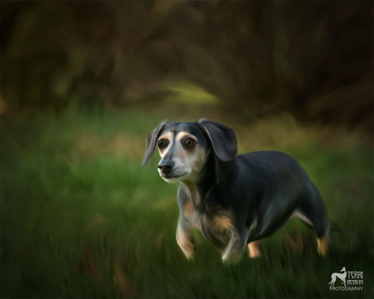 painted portrait of a dachshund