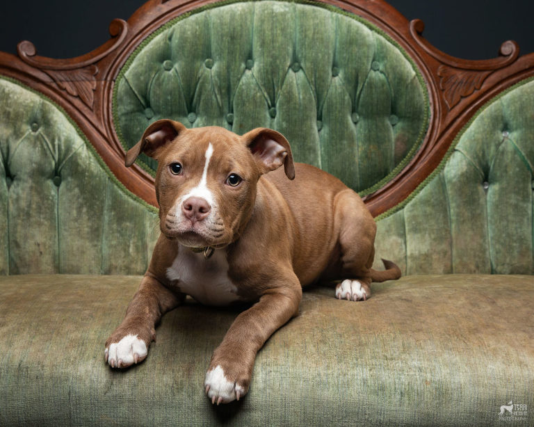 Pitbull puppy laying on an antique sofa.