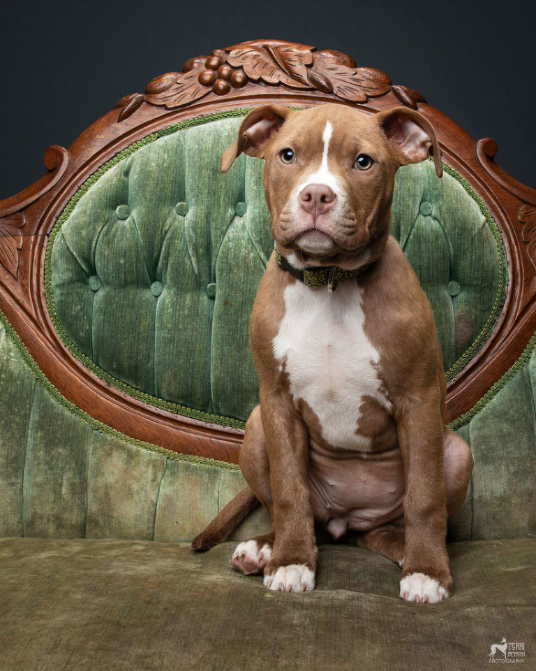 Pitbull puppy sitting on an antique sofa