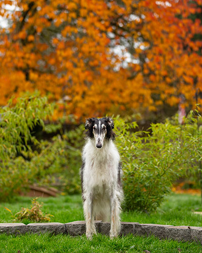 Borzoi in front of golden leaves