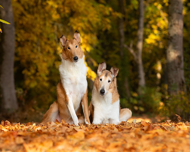 Two collies in leaves